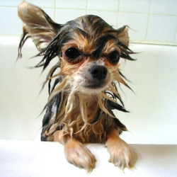 shampoing-pour-chien