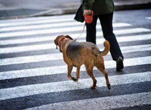 marche en laisse chiot éducation clinique vétérinaire cesson rennes