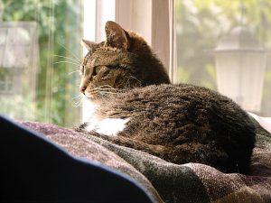 anxiété du chat en milieu clos vétérinaire rennes cesson