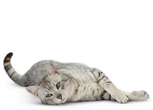 Toxoplasmose femme enceinte chat vétérinaire cesson rennes