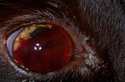 hemmoragie oculaire hypertension arterielle chien chat