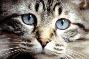 hypertension arterielle chien chat vétérinaire cesson rennes